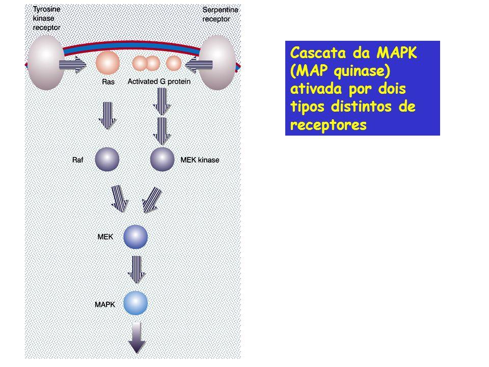 Cascata da MAPK (MAP quinase) ativada por dois tipos distintos de receptores