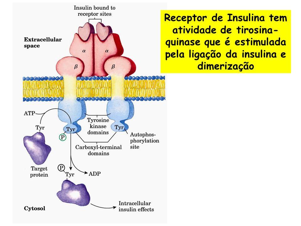 Receptor de Insulina tem atividade de tirosina-quinase que é estimulada pela ligação da insulina e dimerização