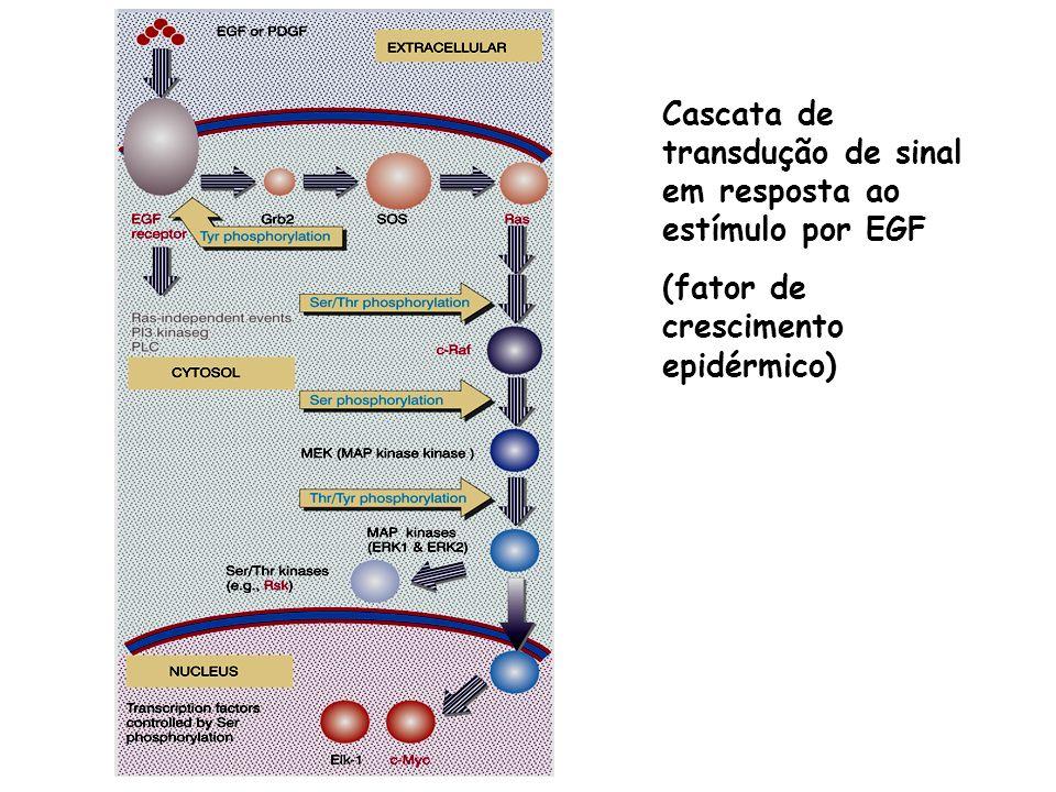 Cascata de transdução de sinal em resposta ao estímulo por EGF