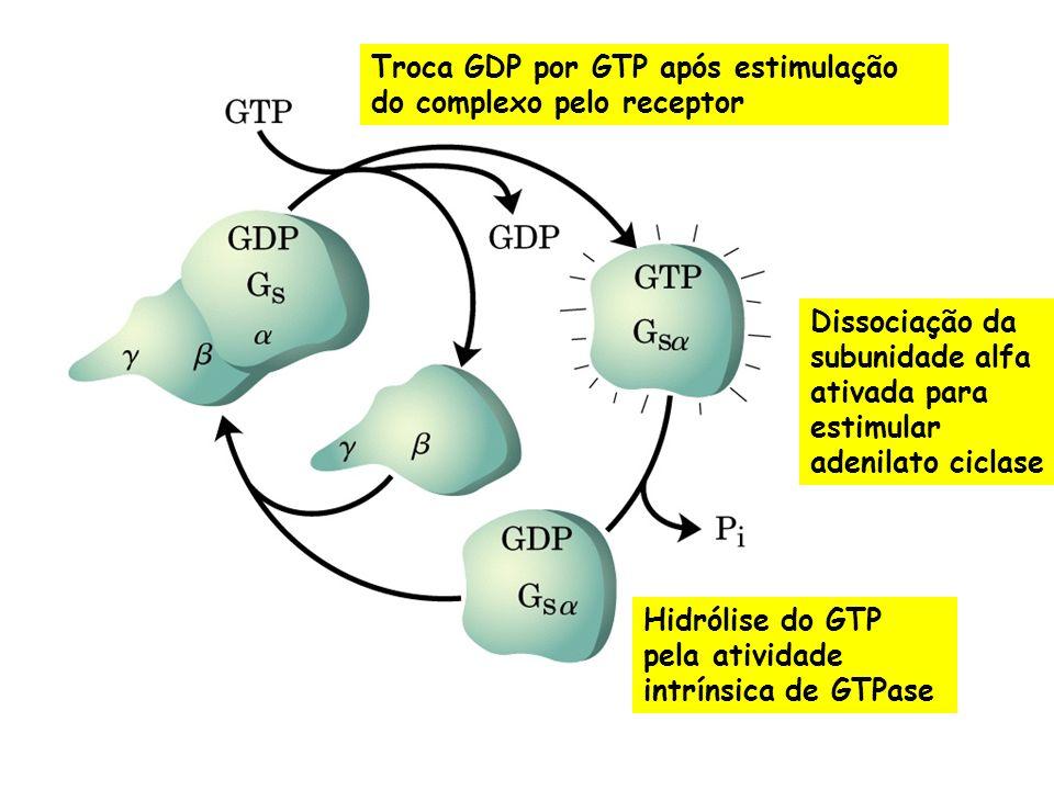 Troca GDP por GTP após estimulação do complexo pelo receptor