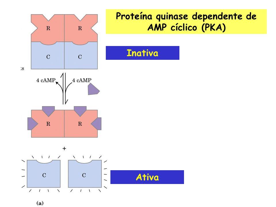 Proteína quinase dependente de AMP cíclico (PKA)