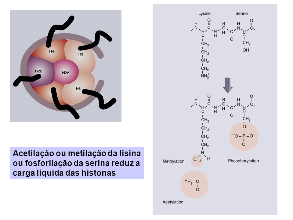Acetilação ou metilação da lisina ou fosforilação da serina reduz a carga líquida das histonas