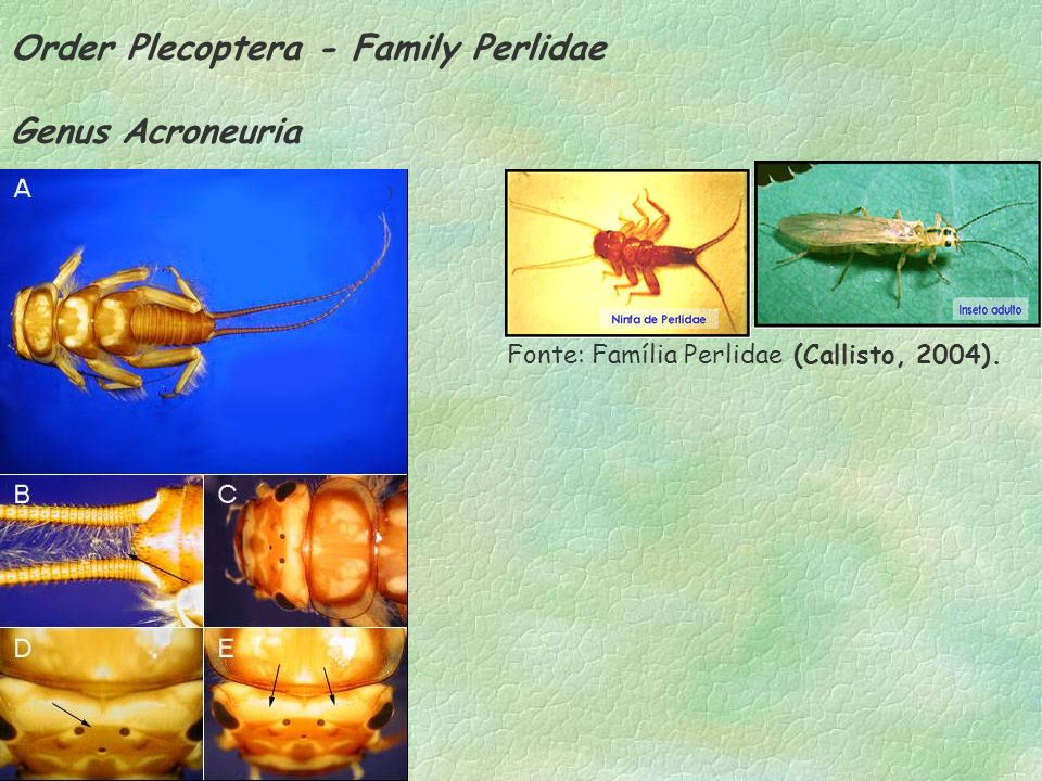 Order Plecoptera - Family Perlidae Genus Acroneuria