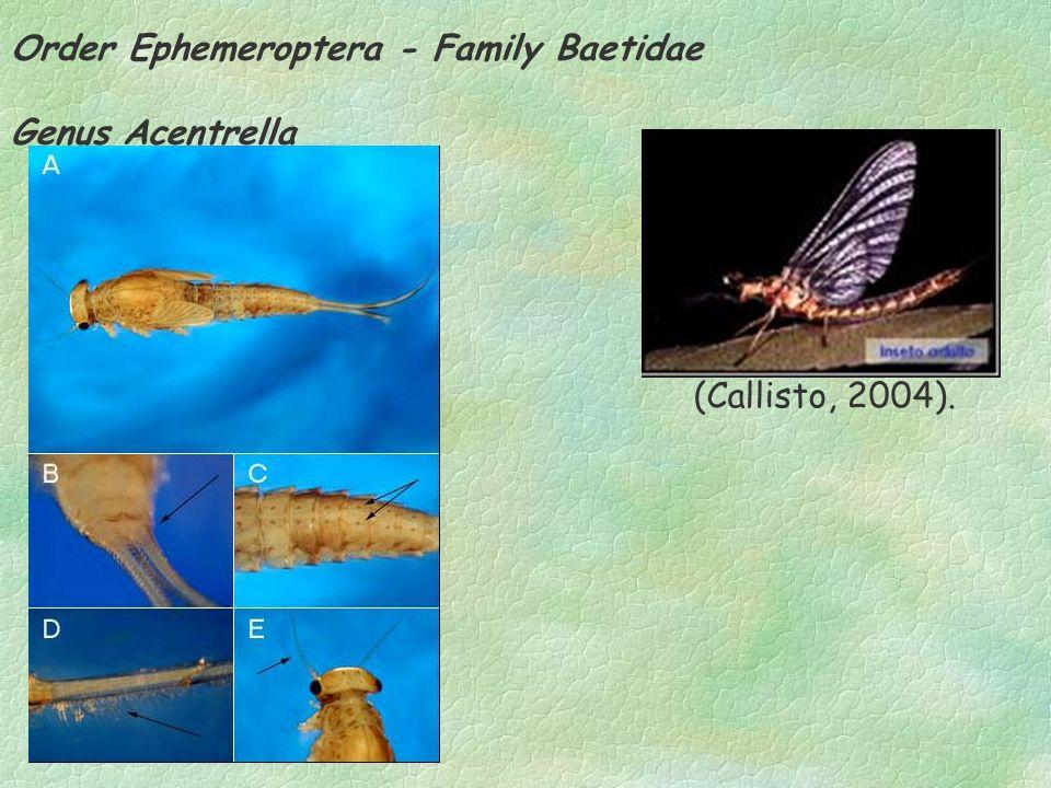 Order Ephemeroptera - Family Baetidae Genus Acentrella