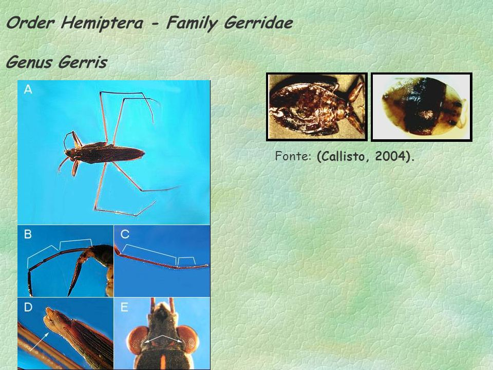Order Hemiptera - Family Gerridae Genus Gerris