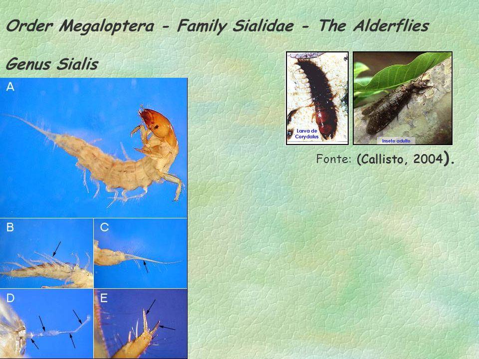 Order Megaloptera - Family Sialidae - The Alderflies Genus Sialis