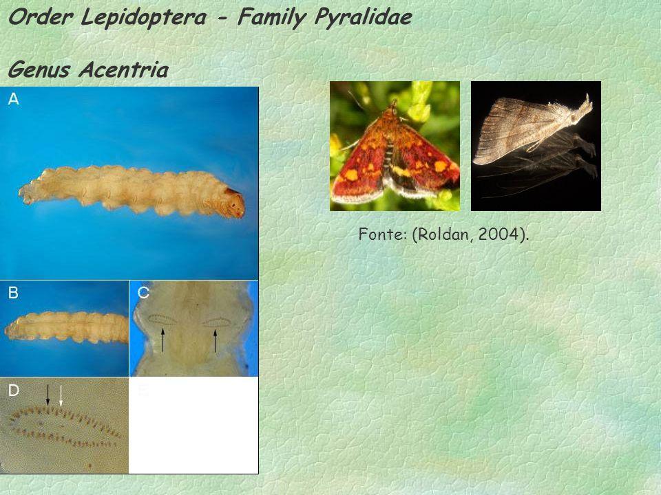 Order Lepidoptera - Family Pyralidae Genus Acentria