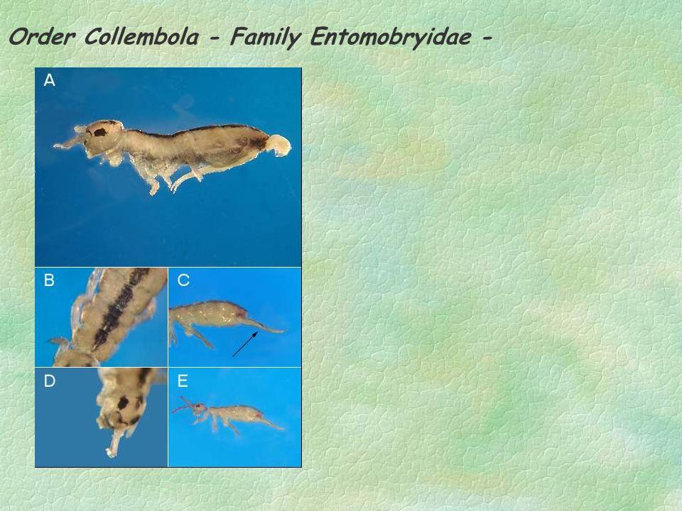 Order Collembola - Family Entomobryidae -