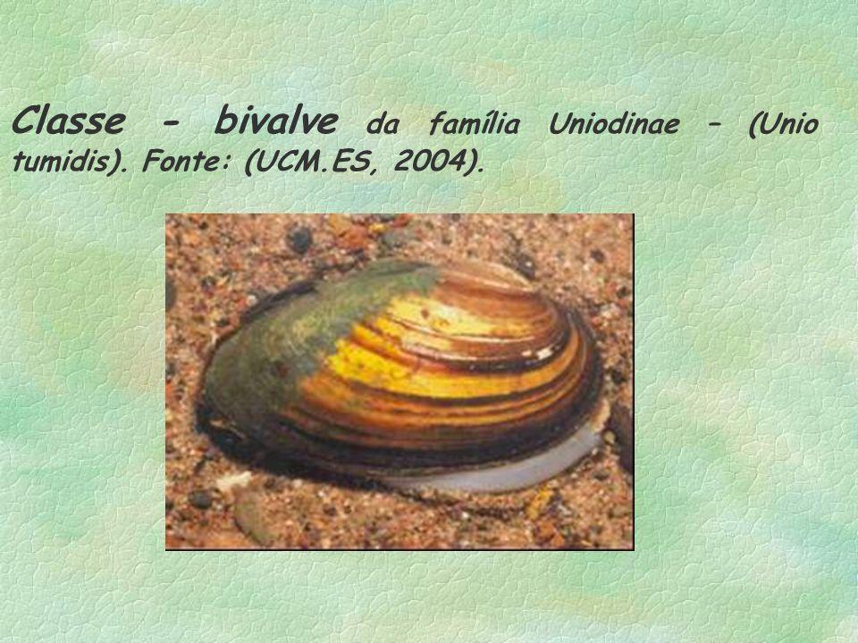 Classe - bivalve da família Uniodinae – (Unio tumidis). Fonte: (UCM