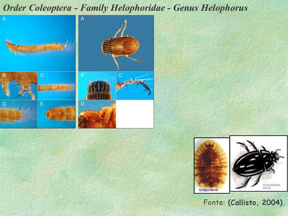 Order Coleoptera - Family Helophoridae - Genus Helophorus