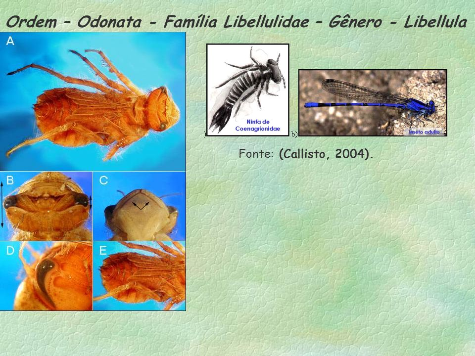 Ordem – Odonata - Família Libellulidae – Gênero - Libellula