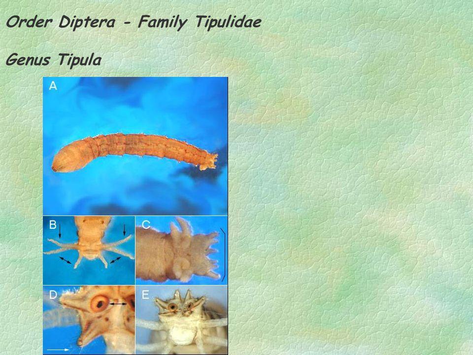 Order Diptera - Family Tipulidae Genus Tipula
