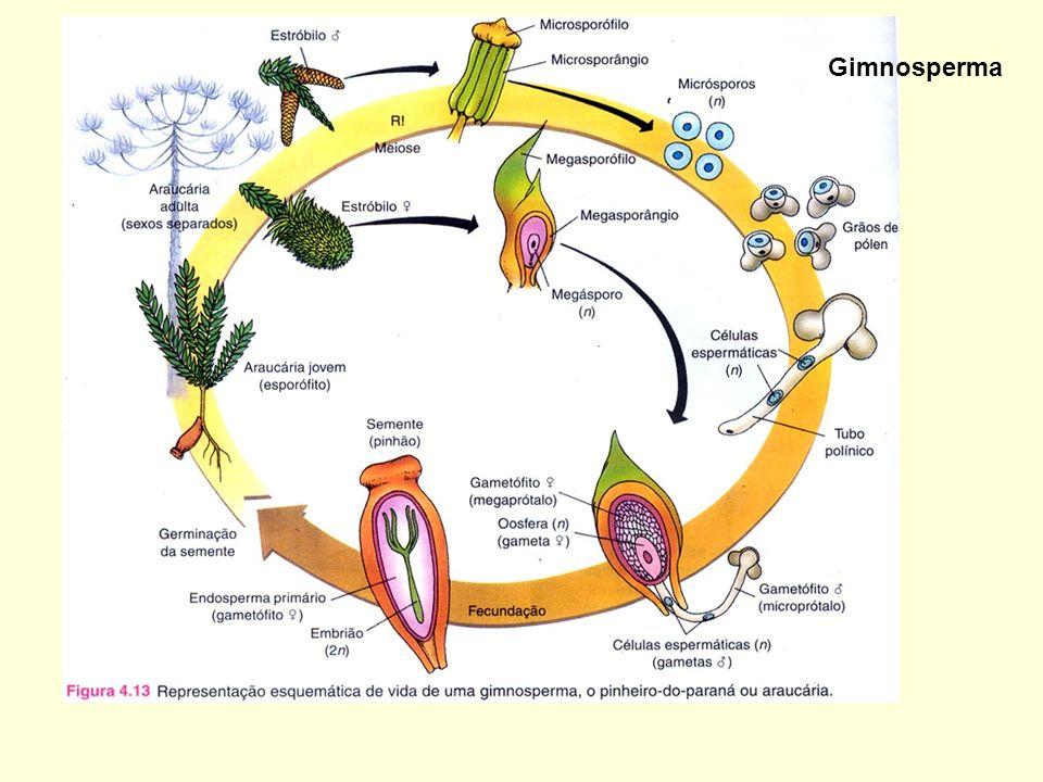 Gimnosperma