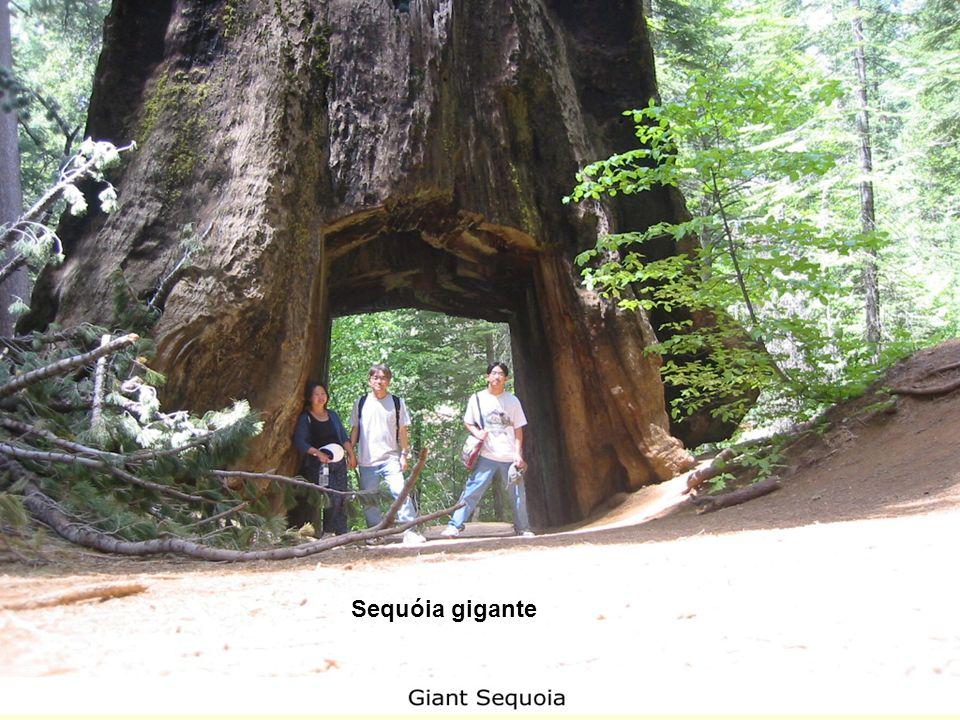 Sequóia gigante