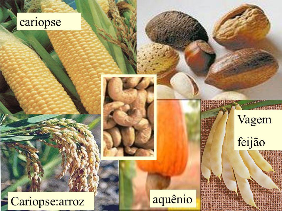 cariopse Vagem feijão aquênio Cariopse:arroz