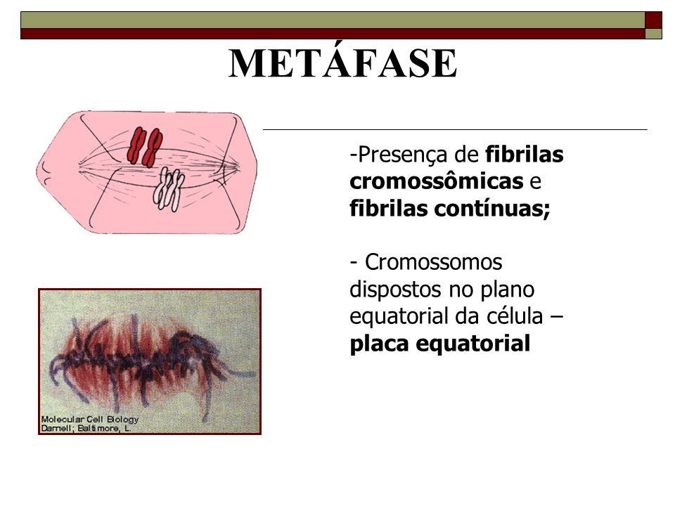 METÁFASE Presença de fibrilas cromossômicas e fibrilas contínuas;