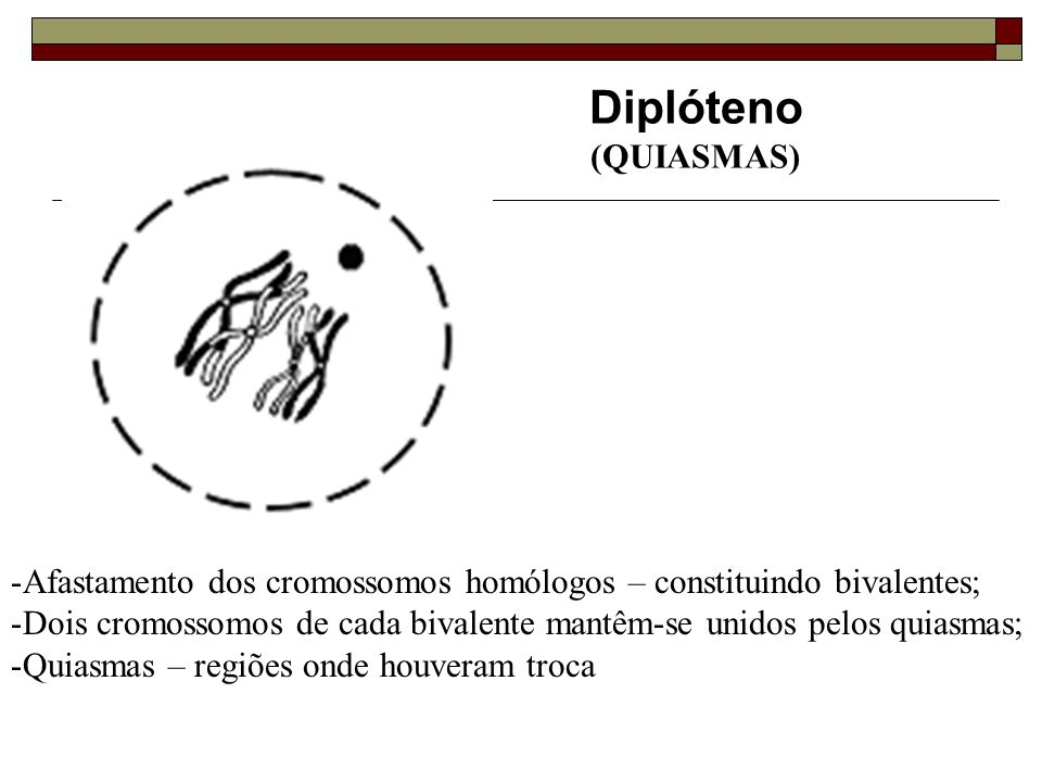 Diplóteno (QUIASMAS) Afastamento dos cromossomos homólogos – constituindo bivalentes;
