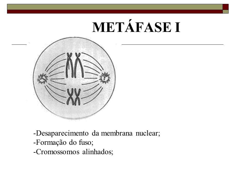 METÁFASE I Desaparecimento da membrana nuclear; Formação do fuso;