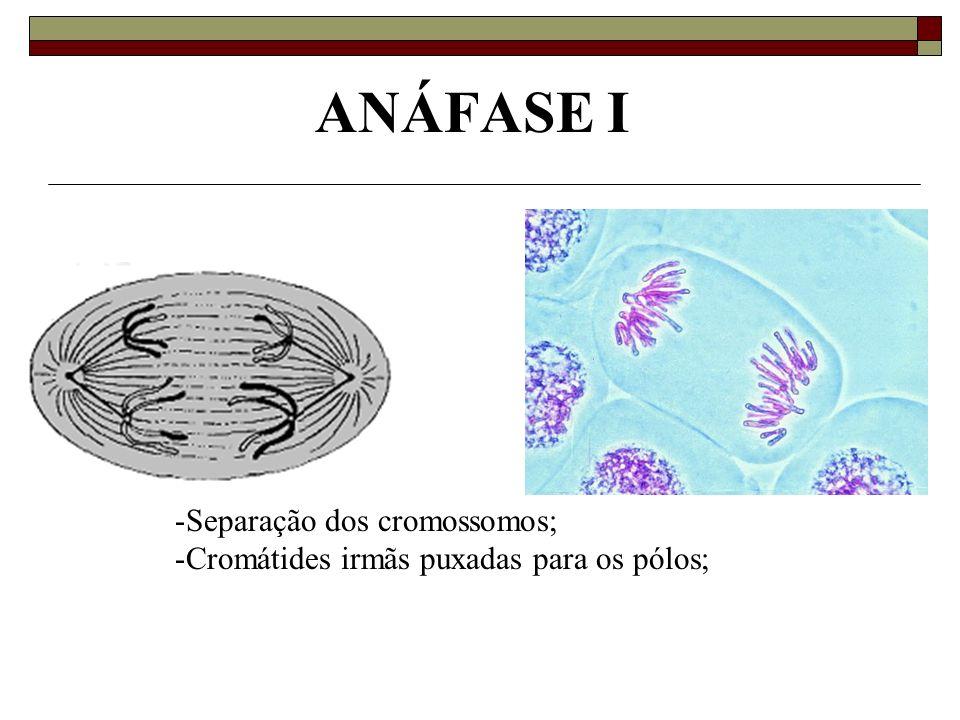 ANÁFASE I Separação dos cromossomos;