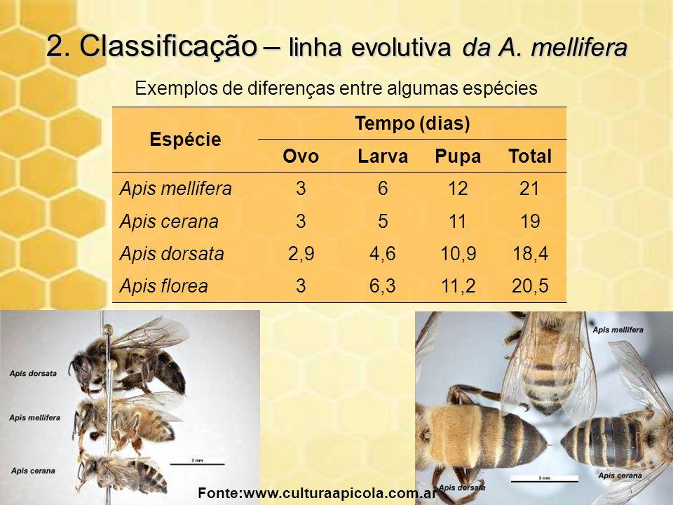 2. Classificação – linha evolutiva da A. mellifera