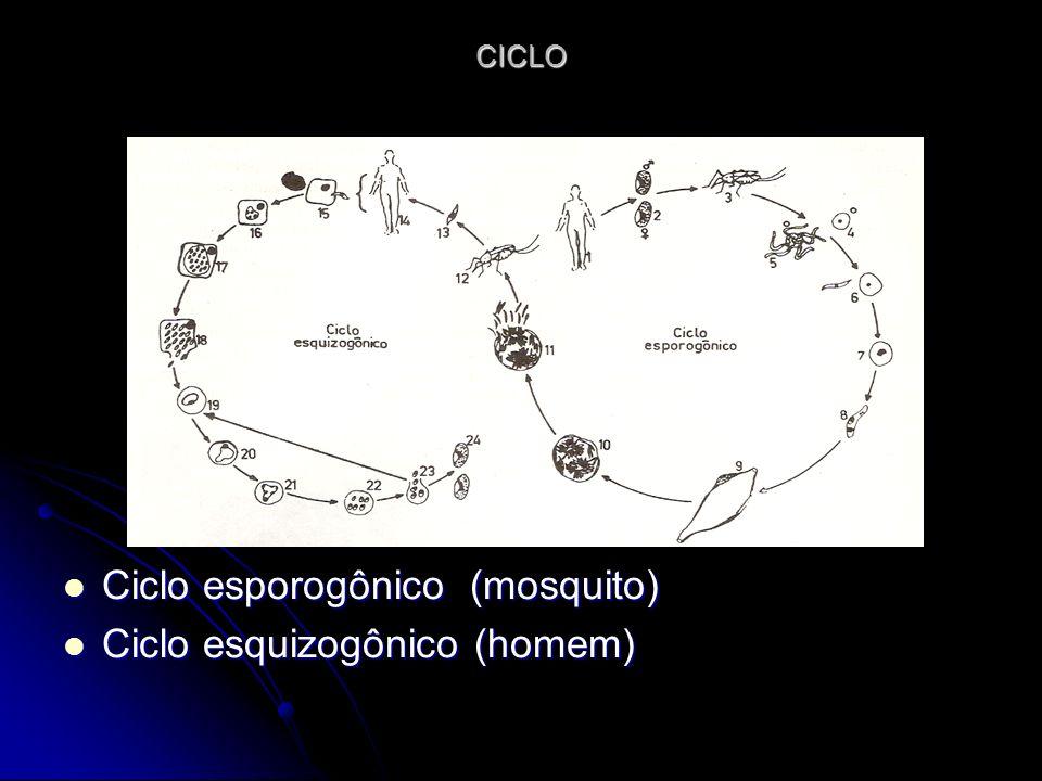 Ciclo esporogônico (mosquito) Ciclo esquizogônico (homem)