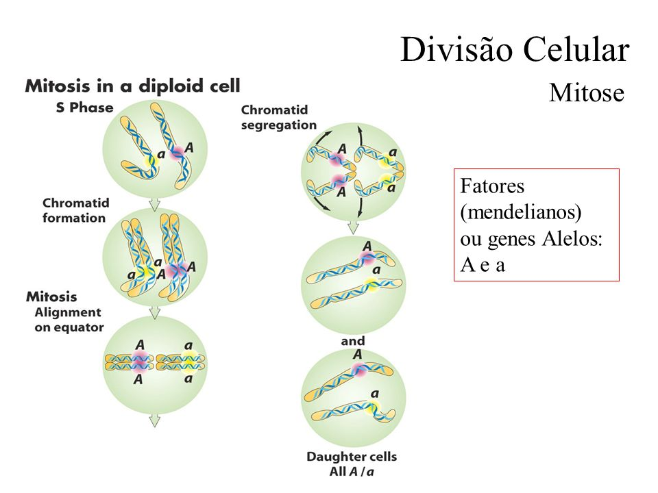 Divisão Celular Mitose Fatores (mendelianos) ou genes Alelos: A e a