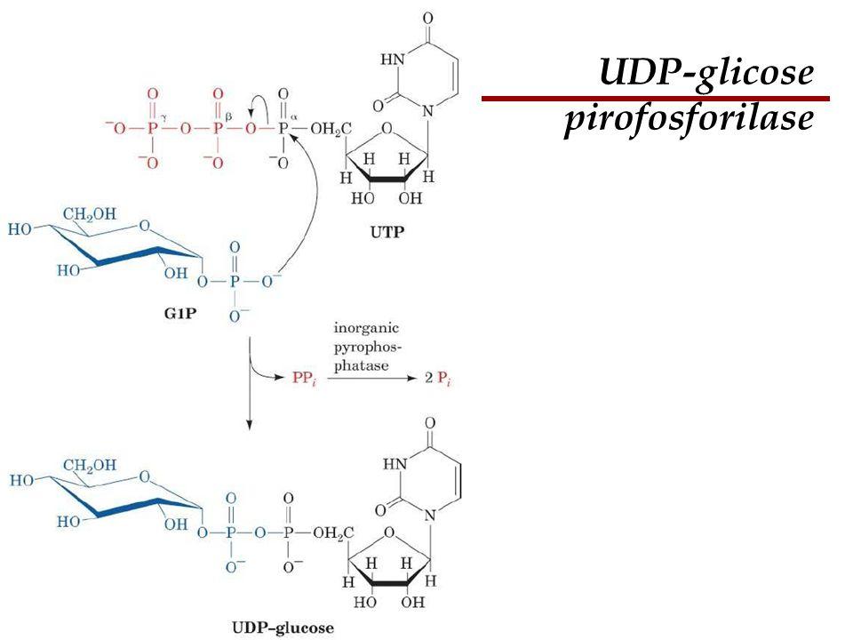 UDP-glicose pirofosforilase