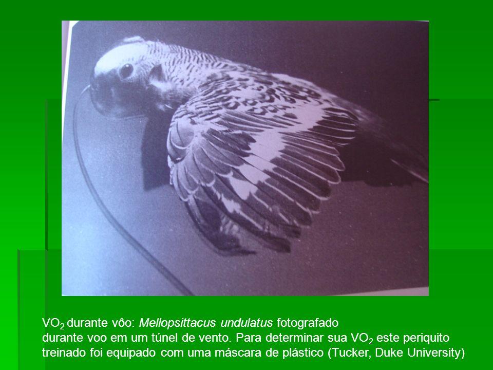 VO2 durante vôo: Mellopsittacus undulatus fotografado