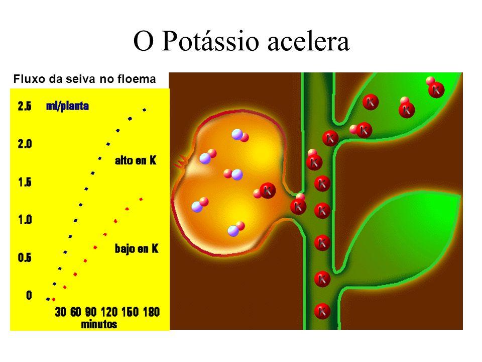 O Potássio acelera Fluxo da seiva no floema