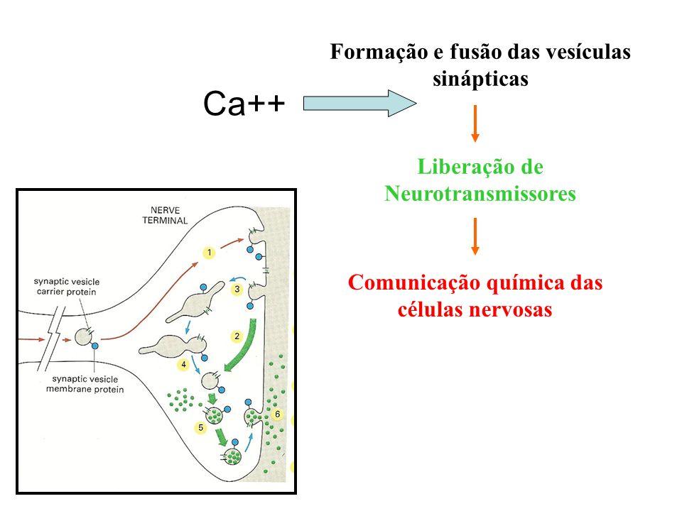 Ca++ Formação e fusão das vesículas sinápticas