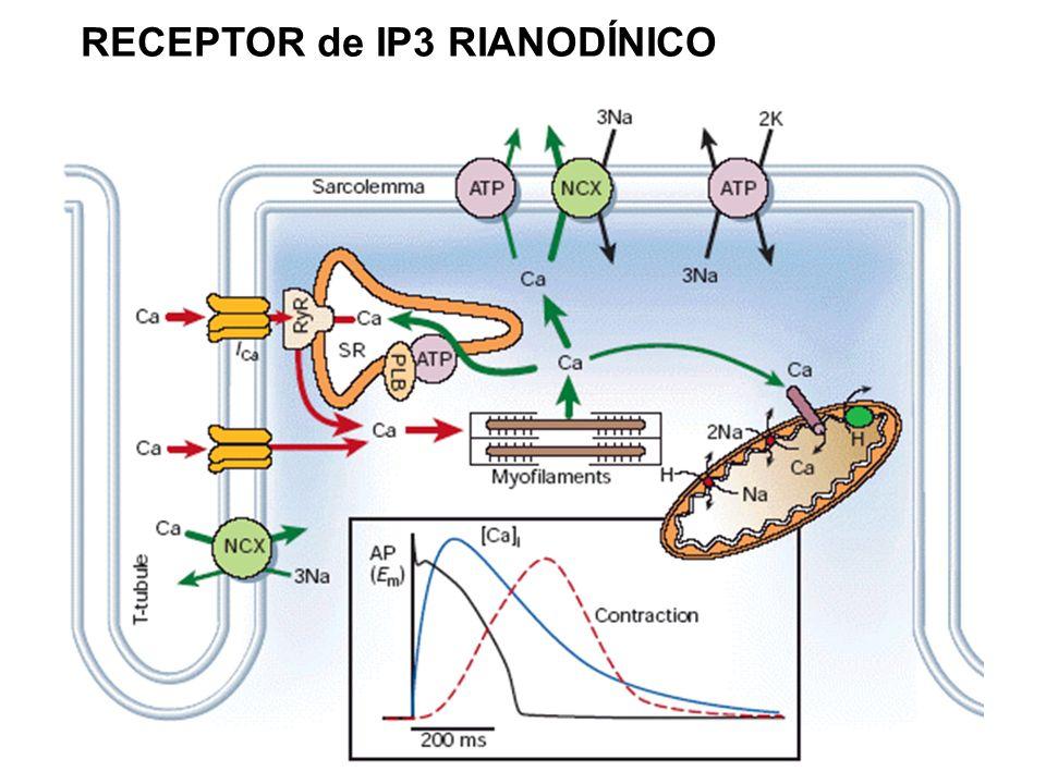 RECEPTOR de IP3 RIANODÍNICO