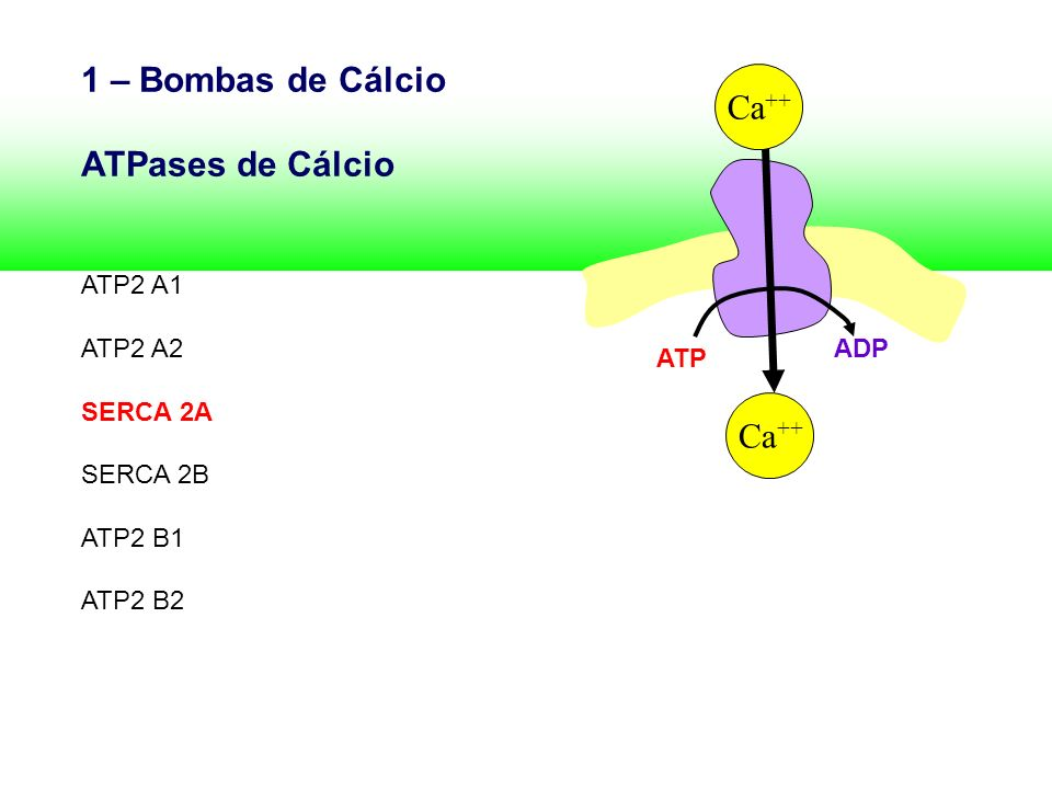 1 – Bombas de Cálcio Ca++ ATPases de Cálcio ATP2 A1 ATP2 A2 SERCA 2A
