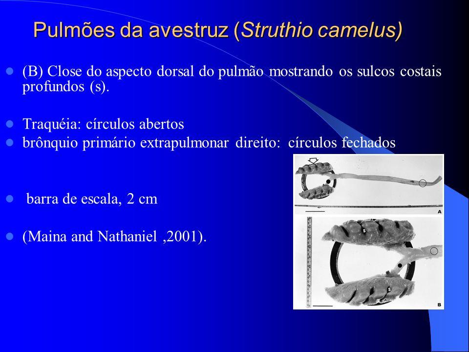 Pulmões da avestruz (Struthio camelus)