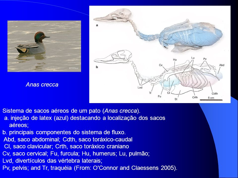 Anas crecca Sistema de sacos aéreos de um pato (Anas crecca). a. injeção de latex (azul) destacando a localização dos sacos.