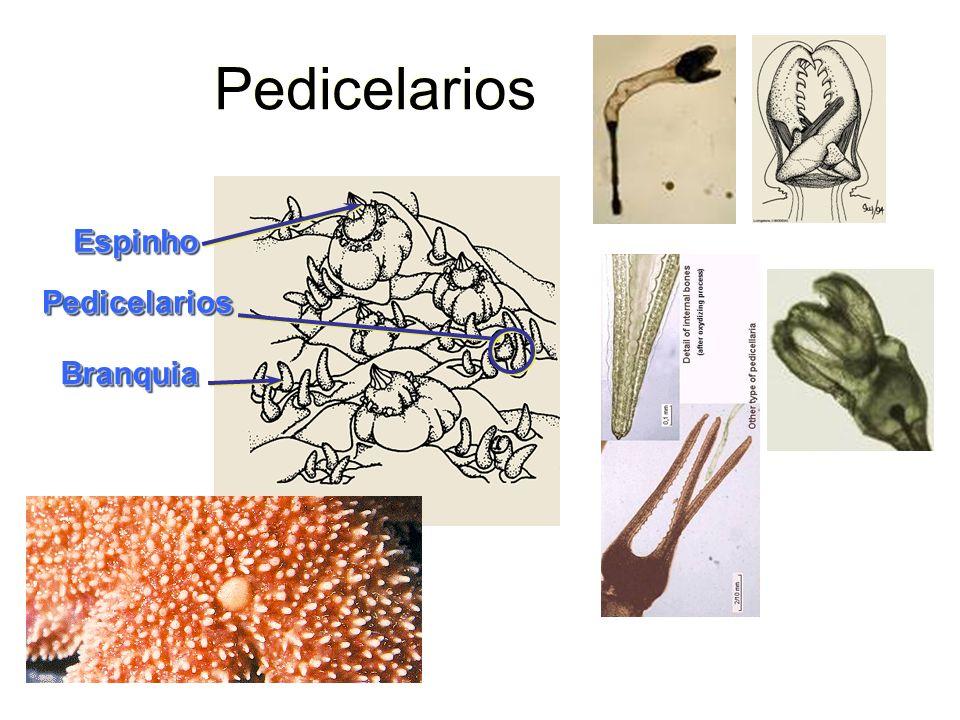 Pedicelarios Espinho Pedicelarios Branquia