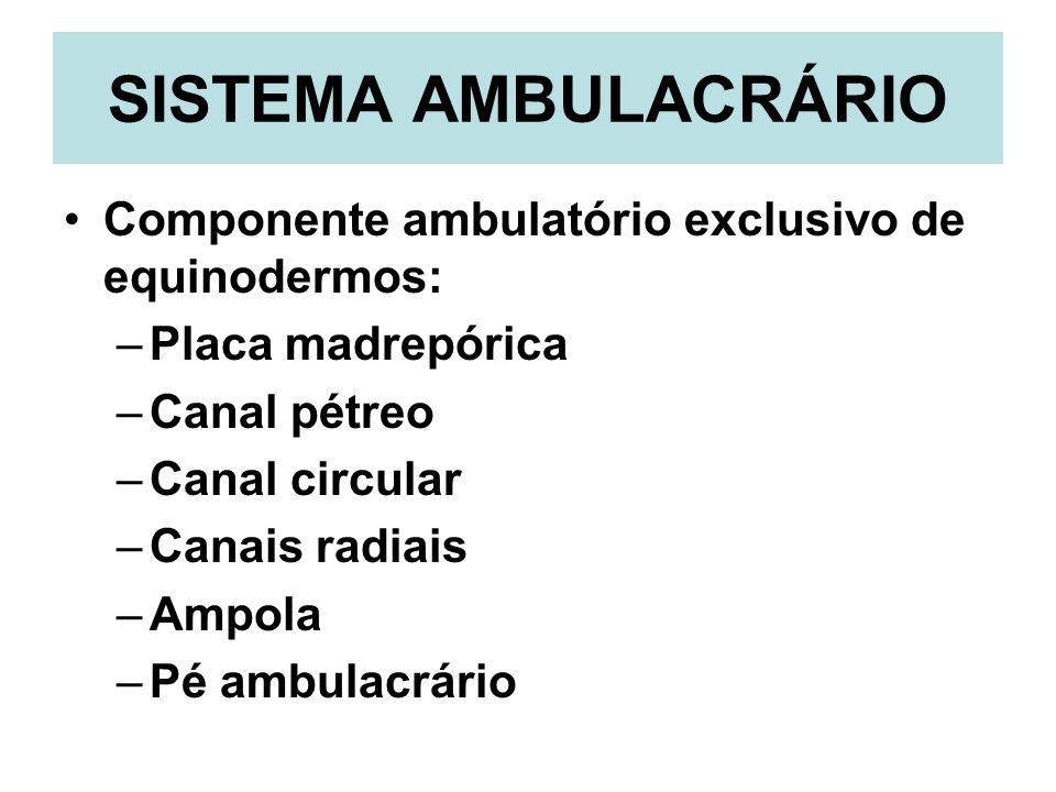 SISTEMA AMBULACRÁRIO Componente ambulatório exclusivo de equinodermos: