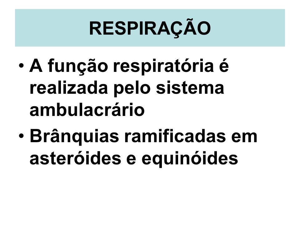 RESPIRAÇÃOA função respiratória é realizada pelo sistema ambulacrário.