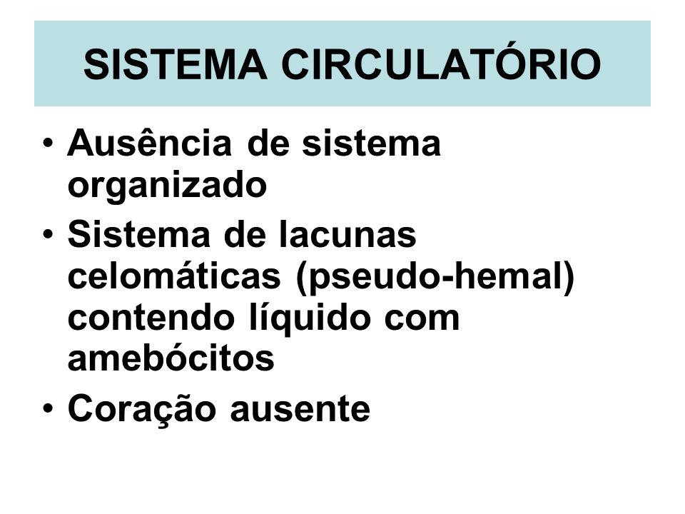 SISTEMA CIRCULATÓRIO Ausência de sistema organizado