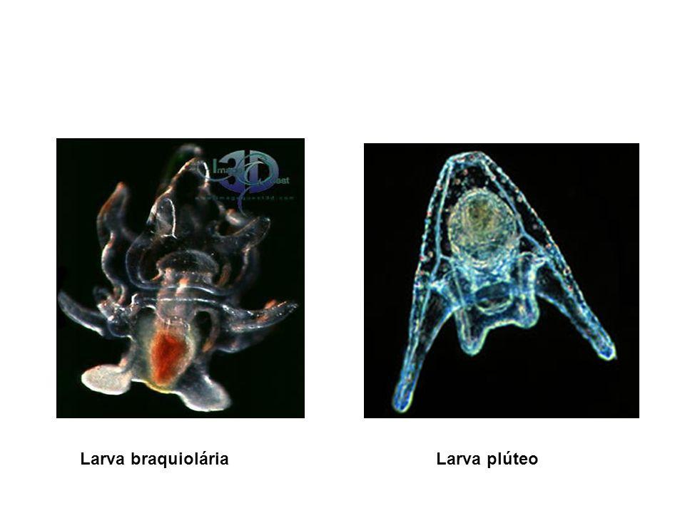 Larva braquiolária Larva plúteo