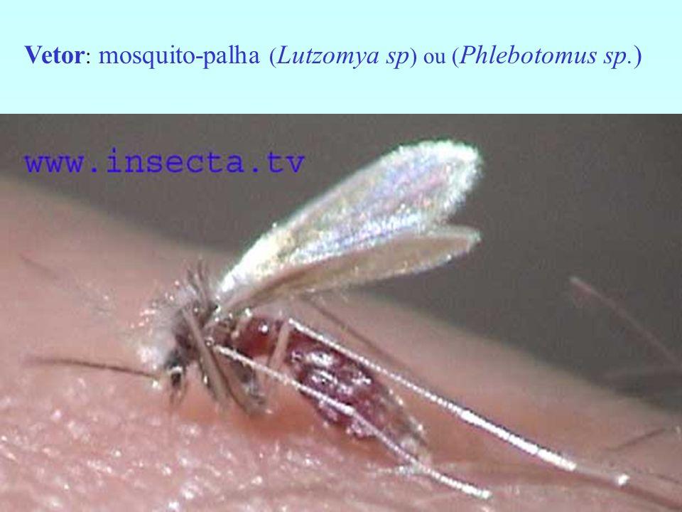Vetor: mosquito-palha (Lutzomya sp) ou (Phlebotomus sp.)