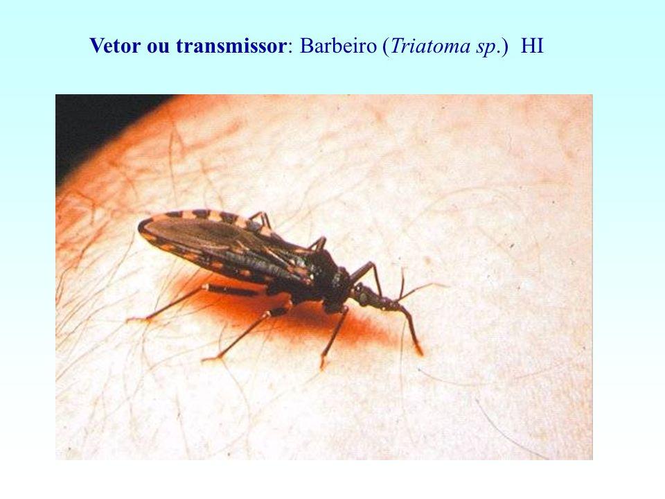 Vetor ou transmissor: Barbeiro (Triatoma sp.) HI