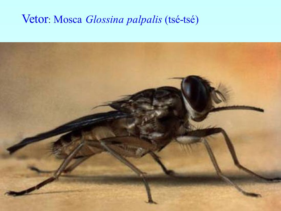 Vetor: Mosca Glossina palpalis (tsé-tsé)