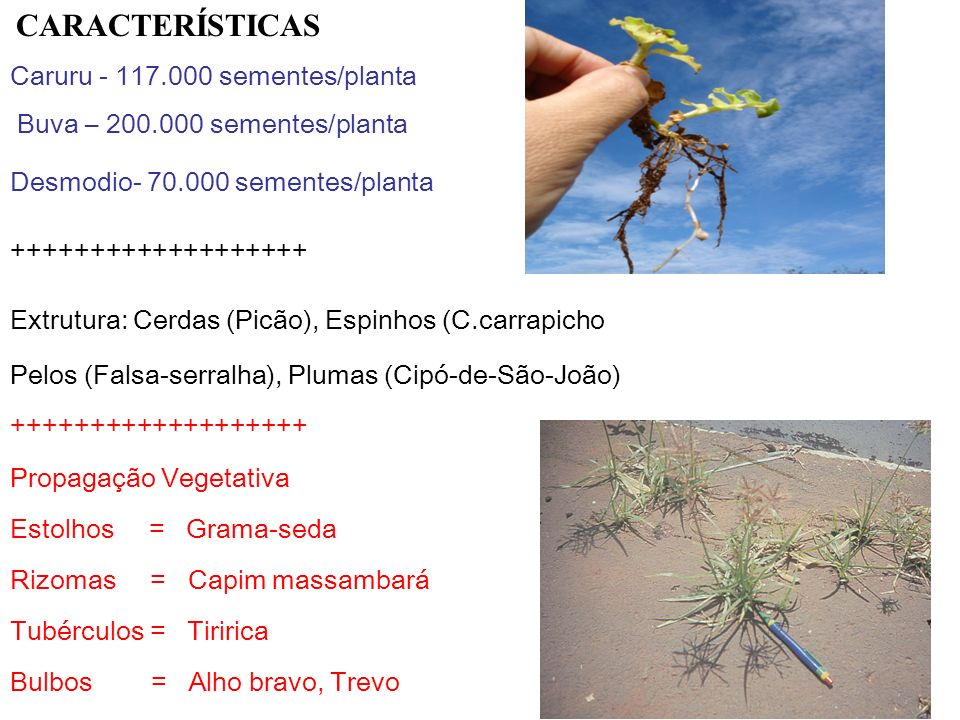 Caruru - 117.000 sementes/planta Buva – 200.000 sementes/planta