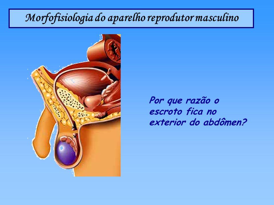 Morfofisiologia do aparelho reprodutor masculino