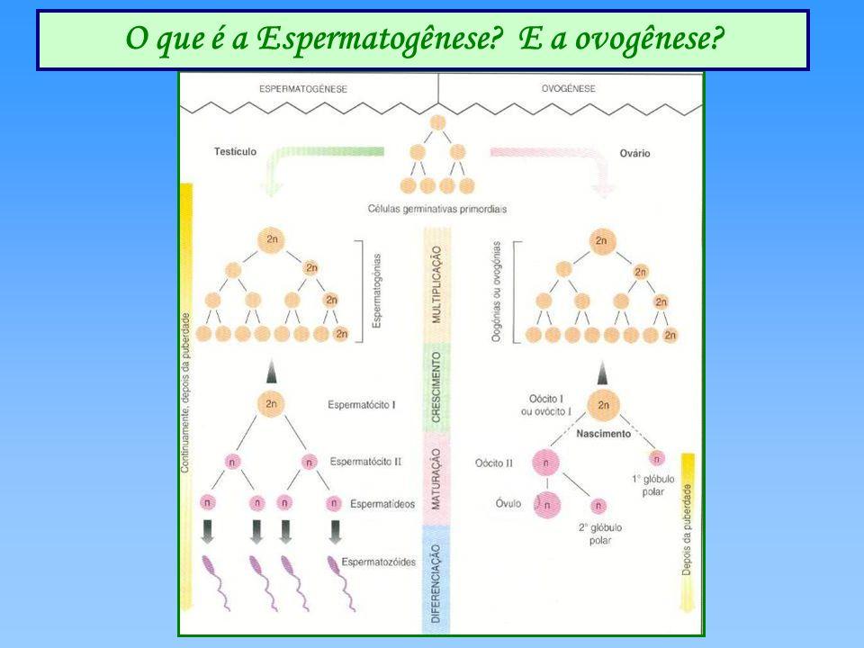 O que é a Espermatogênese E a ovogênese
