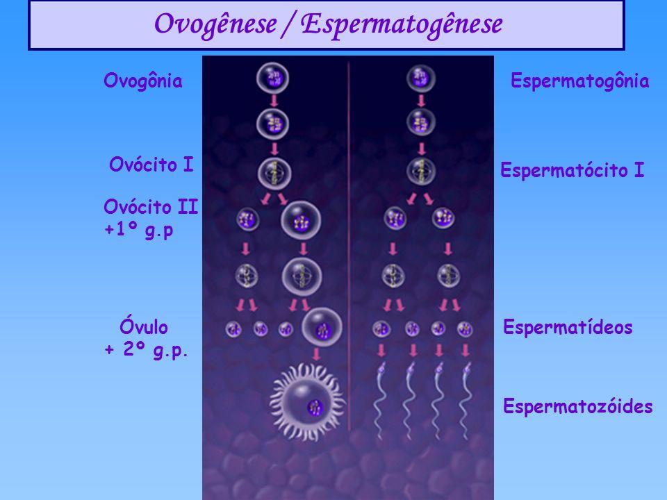 Ovogênese / Espermatogênese