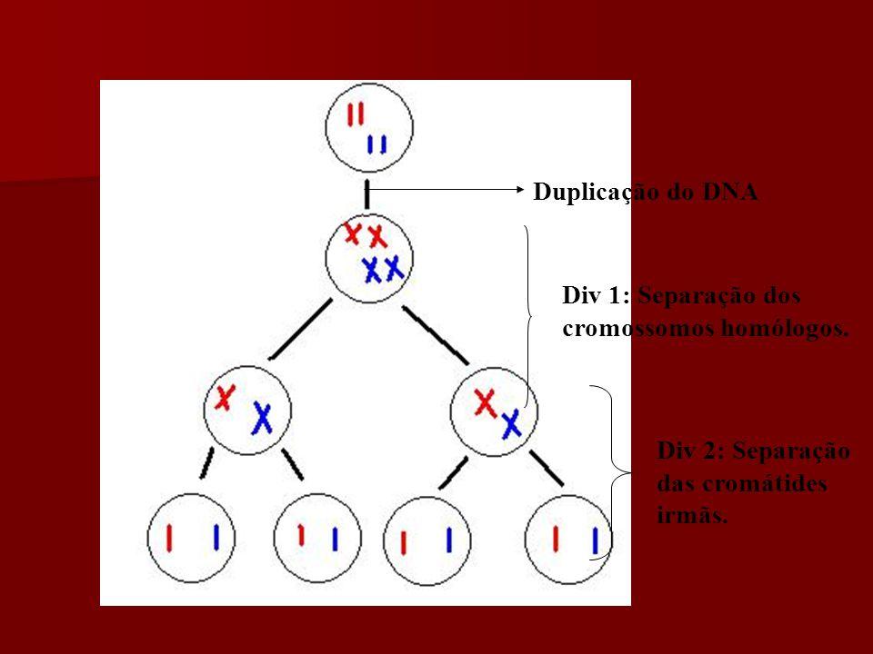 Duplicação do DNA Div 1: Separação dos cromossomos homólogos.