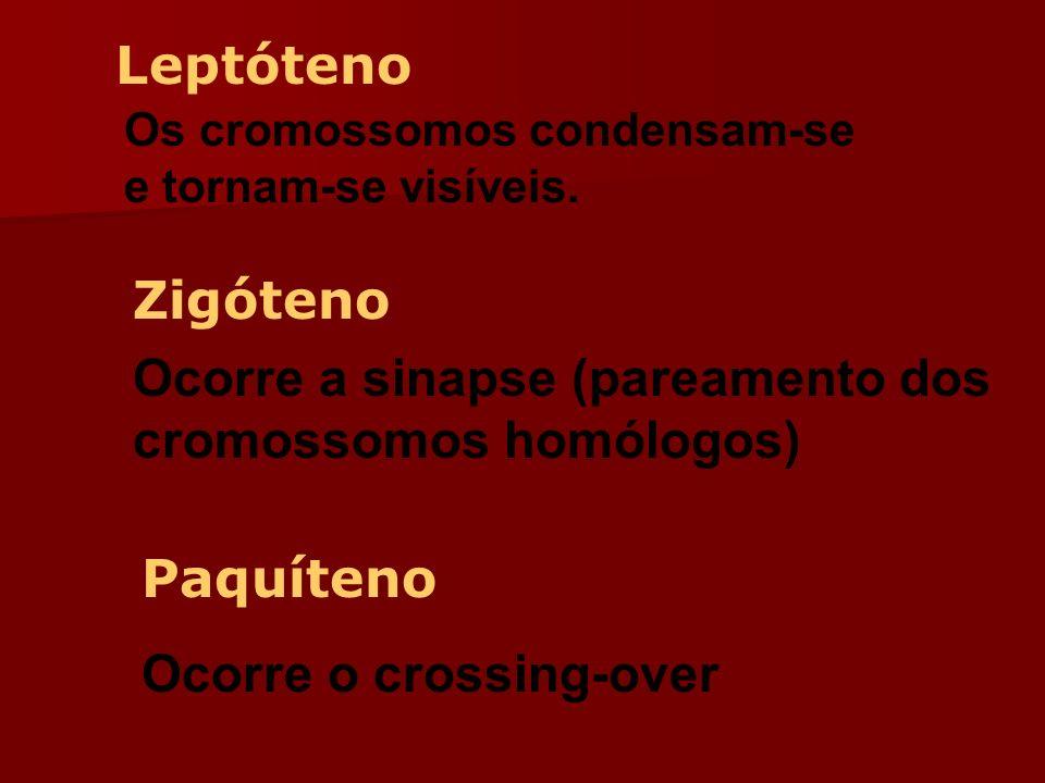 Ocorre a sinapse (pareamento dos cromossomos homólogos)
