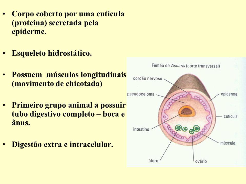 Corpo coberto por uma cutícula (proteína) secretada pela epiderme.