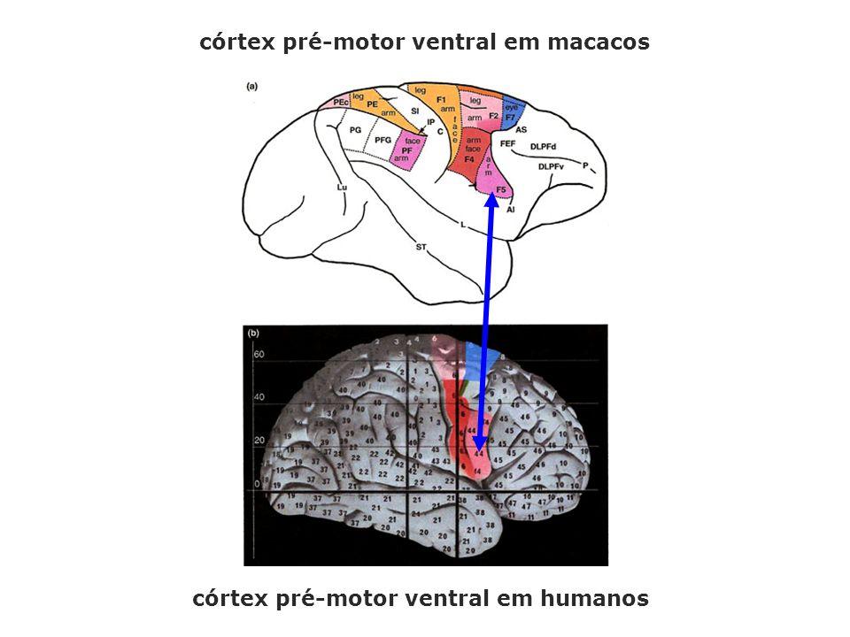 córtex pré-motor ventral em macacos